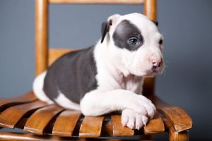 American Bulldog Puppy_IMG_0235.jpg